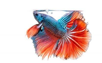 Conseils avant d'adopter un poisson domestique