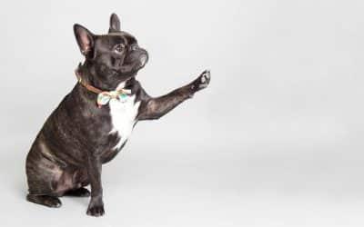 Les différentes races de chien d'appartement