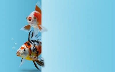 Quel poisson domestique acheter ?