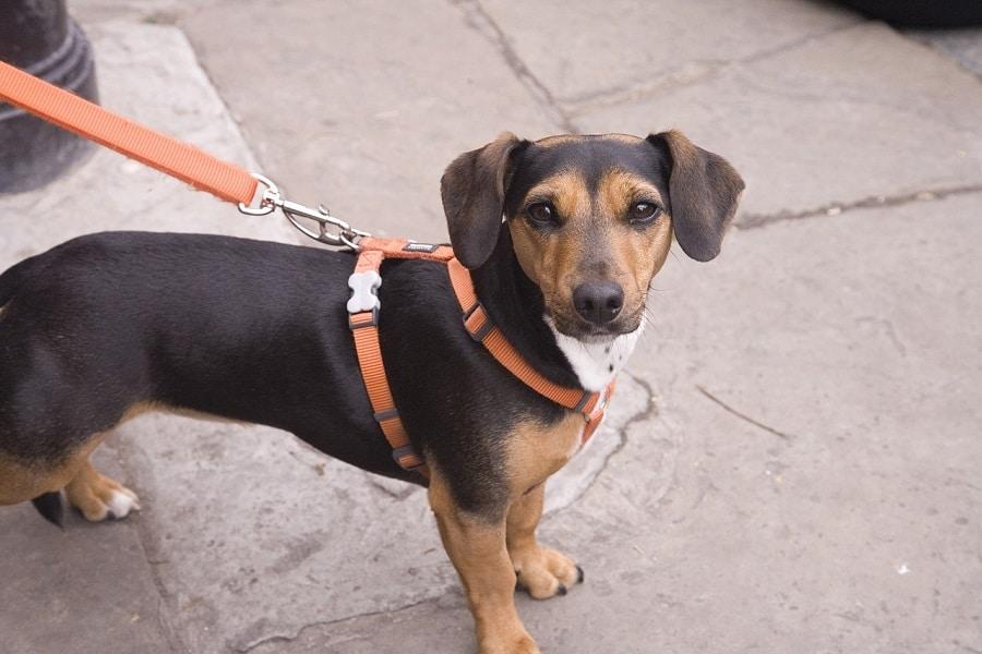 Doit-on tenir son chien en laisse en France ?