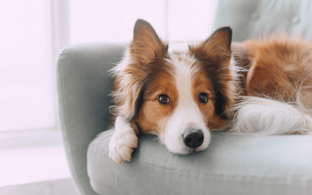10 conseils pour prendre soin d'un chien souffrant de dermatite atopique